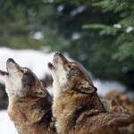 WV-loups-3